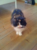 Foto 3 Perser-Maincoon-Katze zu verschenken
