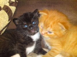 Perser Mix Kitten abzugeben