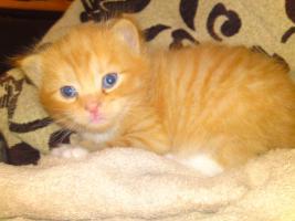 Foto 3 Perser Mix Kitten abzugeben