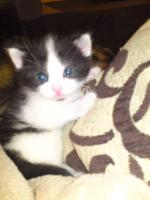 Foto 4 Perser Mix Kitten abzugeben