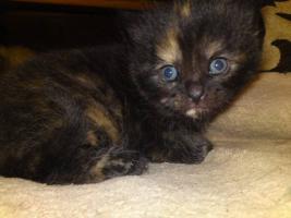 Foto 5 Perser Mix Kitten abzugeben