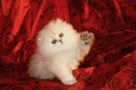 Foto 4 Perser mit Näschen in weiß