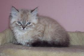 Foto 3 Perser und Perser Colorpoint Kitten