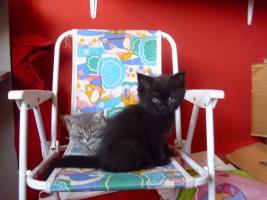 Perser-T�rkisch-Angora-Mix Kitten :0)