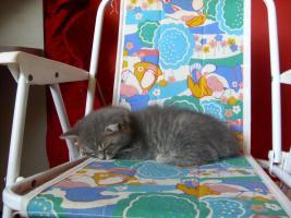 Foto 2 Perser-Türkisch-Angora-Mix Kitten :0)