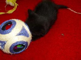 Foto 3 Perser-Türkisch-Angora-Mix Kitten :0)