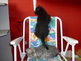 Foto 4 Perser-Türkisch-Angora-Mix Kitten :0)