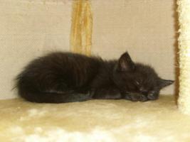 Foto 5 Perser-Türkisch-Angora-Mix Kitten :0)