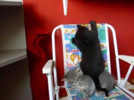 Foto 6 Perser-Türkisch-Angora-Mix Kitten :0)