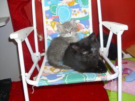 Foto 7 Perser-Türkisch-Angora-Mix Kitten :0)