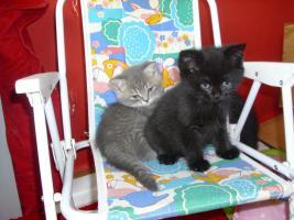 Foto 8 Perser-Türkisch-Angora-Mix Kitten :0)