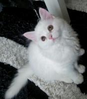 Perser katze weiß 10 Wochen geimpft