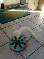 Foto 2 Perser katze weiß 10 Wochen geimpft