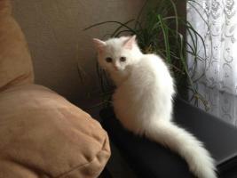 Foto 3 Perser katze weiß 10 Wochen geimpft