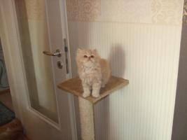 Perser katzenbabys