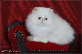 Foto 3 Perser kitten