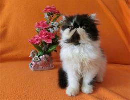 Perser kleine Katzchen