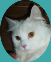 Perser - Brittisch Kurzhaar Punky, 3 Jahre, langhaar