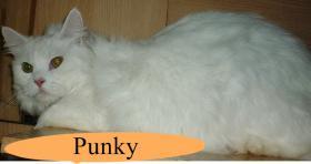 Foto 3 Perser - Brittisch Kurzhaar Punky, 3 Jahre, langhaar