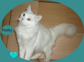 Foto 4 Perser - Brittisch Kurzhaar Punky, 3 Jahre, langhaar