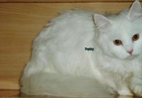 Foto 7 Perser - Brittisch Kurzhaar Punky, 3 Jahre, langhaar