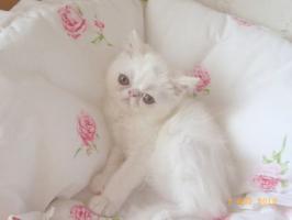 Foto 2 Perser & Exotic-Shorthair (Kurzhaarperser)