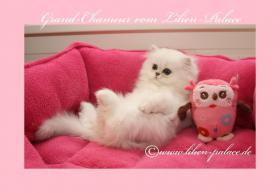 Foto 3 Perserbaby mit Stammbaum / chinchilla, silver-shaded