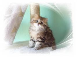 Foto 5 Perserbaby golden cl. tabby ''Ein Traum wird wahr''
