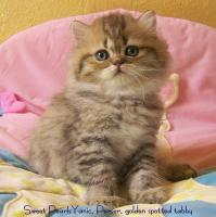 Perserbaby in golden spotted tabby