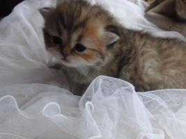 Perserbabys 3 Wochen alt golden shaded u red tabby m Ahnentafel