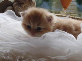 Foto 2 Perserbabys 3 Wochen alt golden shaded u red tabby m Ahnentafel