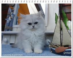 Perserbabys silver shaded, Chinchilla, golden u red-tabby m Ahnentafel