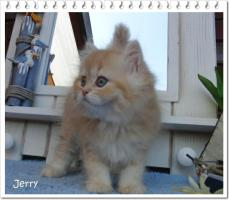 Foto 4 Perserbabys silver shaded, Chinchilla, golden u red-tabby m Ahnentafel