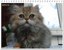 Foto 5 Perserbabys silver shaded, Chinchilla, golden u red-tabby m Ahnentafel