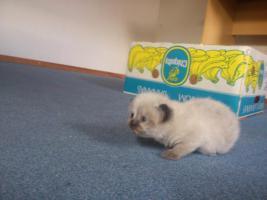 Foto 3 ! Perserbabys ! Bildhübsch, strahlend blaue Augen (mit Nase)