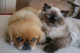 Foto 4 ! Perserbabys ! Bildhübsch, strahlend blaue Augen (mit Nase)