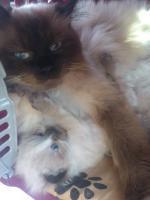 Foto 6 ! Perserbabys ! Bildhübsch, strahlend blaue Augen (mit Nase)