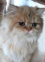 Perserkatze 8 Monate alt golden Chinchilla lieb und anhänglich m Pap