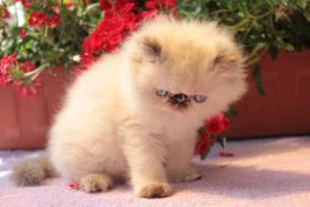 Perserkatze Wundersch�ne Katzenbabys mit Zeichen