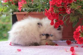Foto 3 Perserkatze Wunderschöne Katzenbabys mit Zeichen
