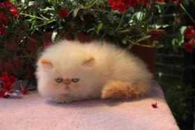 Foto 4 Perserkatze Wunderschöne Katzenbabys mit Zeichen
