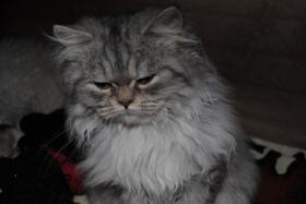 Foto 4 Perserkatze, chinchilla, 5 Monate sucht liebes Zuhause