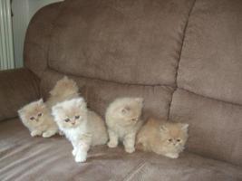 Foto 3 Perserkatzen Babys