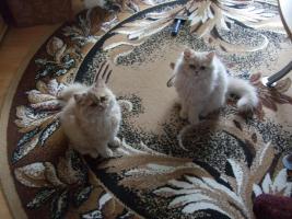Foto 2 Perserkatzen Babys