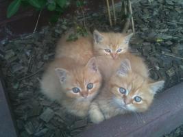 Persermix-Kitten