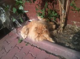 Foto 2 Persermix-Kitten