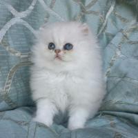 Foto 2 .. Persische katze
