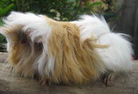 Foto 9 Peruaner Langhaar Meerschweinchen auch ältere Tiere