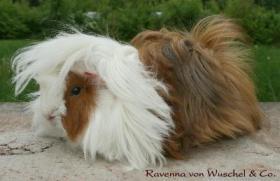 Foto 3 Peruaner in Showoptik für Liebhaber!