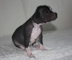 Foto 5 Peruanischer Nackthund